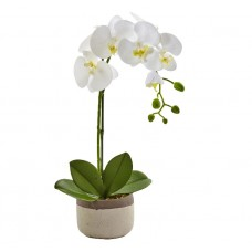 One Phalaenopsis Orchid